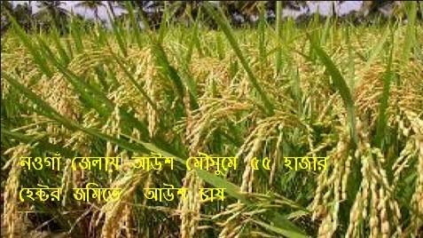 নওগাঁ জেলায় আউশ মৌসুমে ৫৫ হাজার হেক্টর জমিতে  আউশ চাষ
