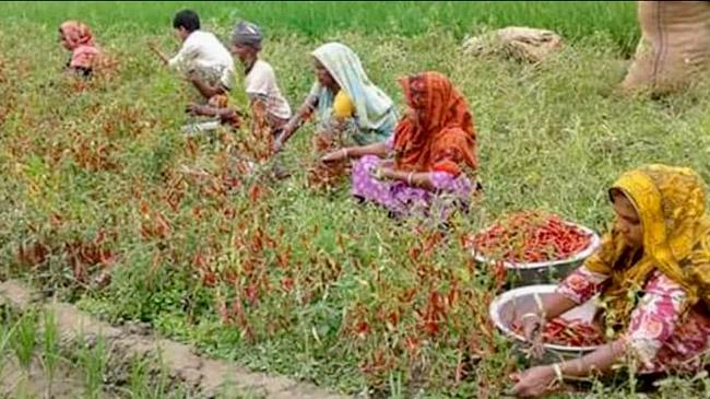 করোনায় মরিচ তোলার কাজ করে সংসার চালান নারীরা